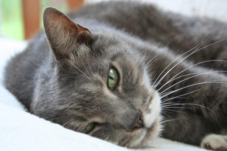 Il vaccino trivalente per il gatto...
