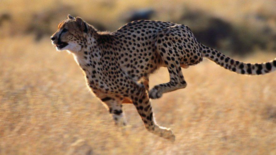 Il ghepardo: il più veloce animale terrestre!