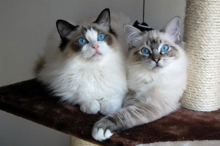 Una razza speciale felina: il gatto Ragdoll!