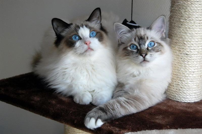 Una Razza Speciale Felina Il Gatto Ragdoll Paradiso A 4 Zampe