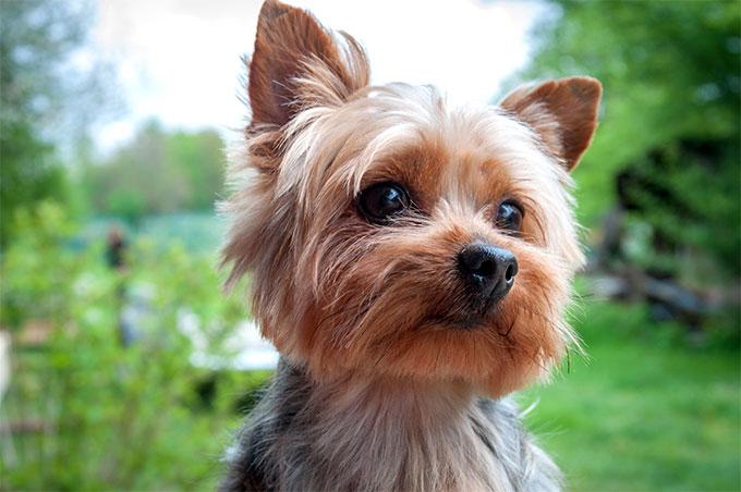 Yorkshire Terrier: tante coccole e attività fisica!