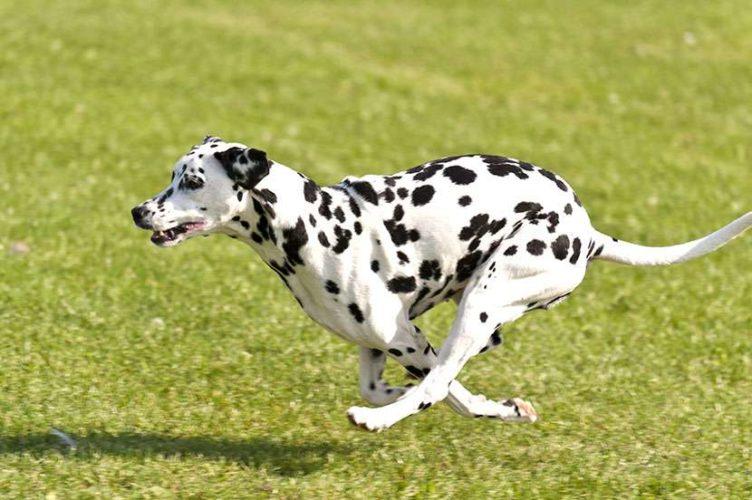 Sapevi che il Dalmata è un cane molto sportivo?