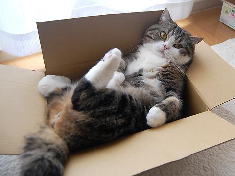 I gatti amano esplorare: scatole che passione!