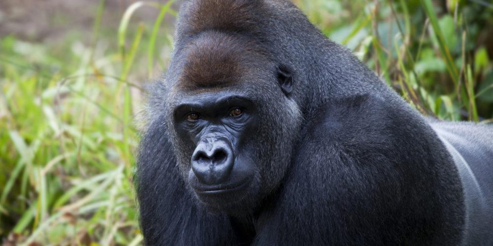 Come salvare un gorilla dall'estinzione!