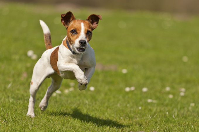 Jack Russell Terrier: piccoli ma resistenti!