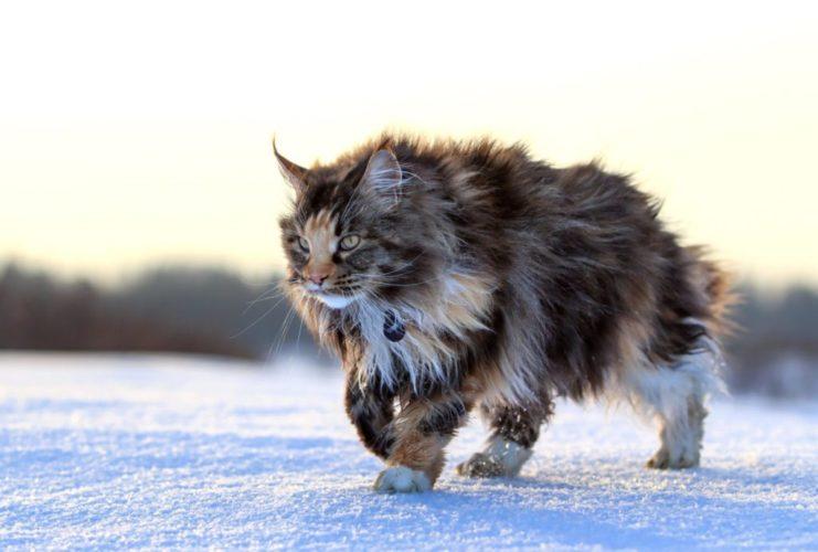 Le origini del gatto Maine Coon!