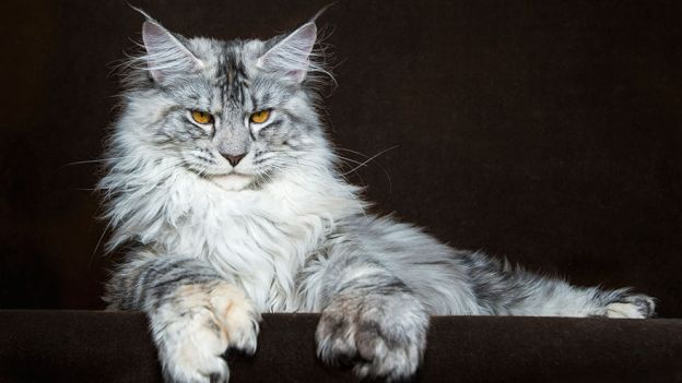 Il Maine Coon: un cane vestito da gatto!
