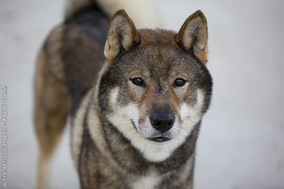 "Shikoku, un cane ""monumentale""!"