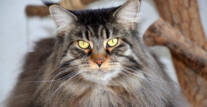 Maine Coon, come prendersi cura di questo gatto!