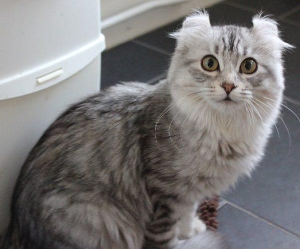 American Curl: il gatto con le orecchie a virgola!