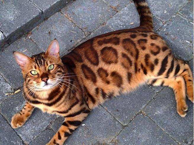 Origini del gatto Bengala...