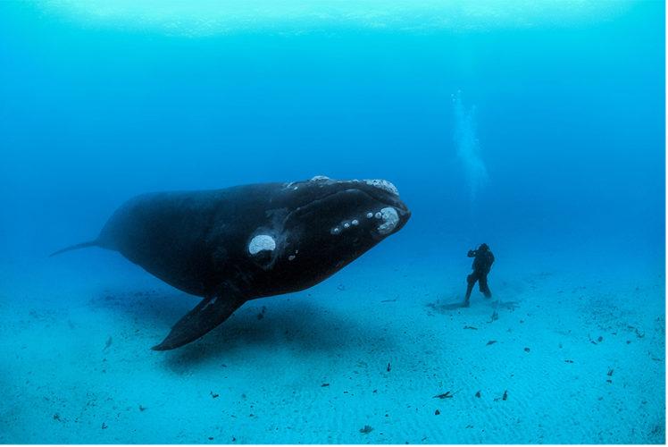 Solo 458 esemplari: Balene Franche a rischio estinzione!