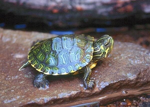 Le tartarughine vanno in letargo? Risponde il veterinario dottor Piero Bianchi!