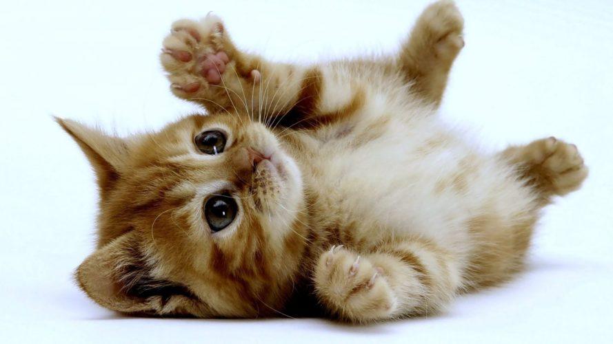 Gatto, il carattere si forma da cuccioli!