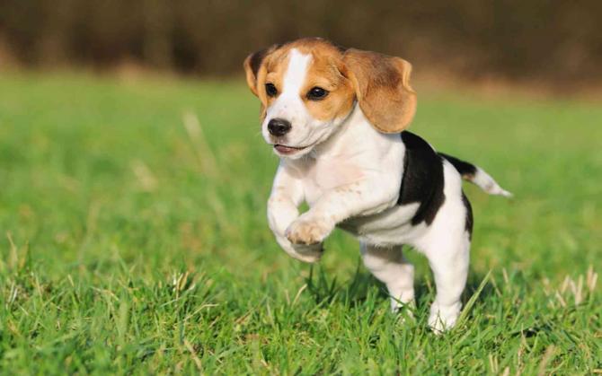 Beagle, compagno di vita di molte celebrità!