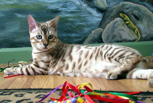 Gatto Bengala: un piccolo leopardo...