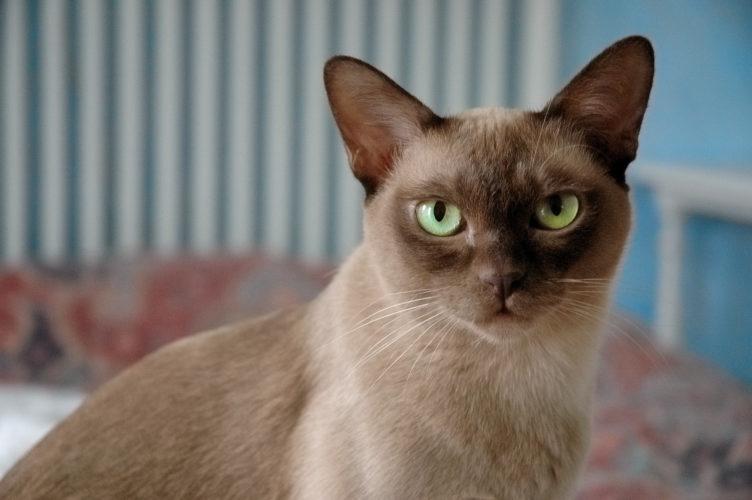 Alla scoperta del gatto Burmese (affettuoso e socievole)!