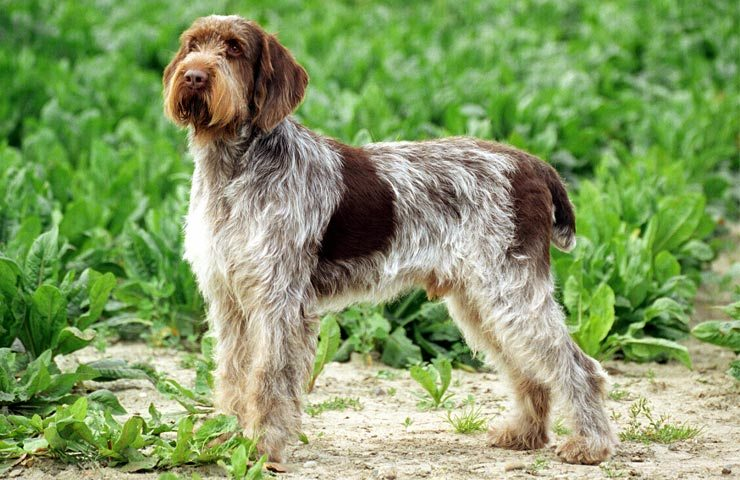 Alla scoperta dello Spinone Italiano, uno dei cani da caccia con più talento!