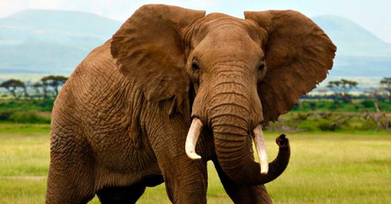 Il naso più lungo? Quello dell'elefante africano...