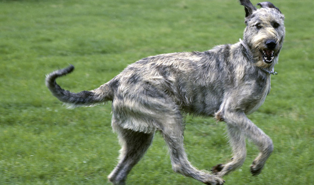 Alla scoperta dell'Irish Wolfhound (segugio gigante)!