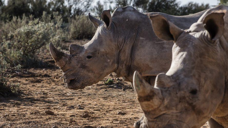 Buone notizie per i rinoceronti (ma le uccisioni restano alte)!
