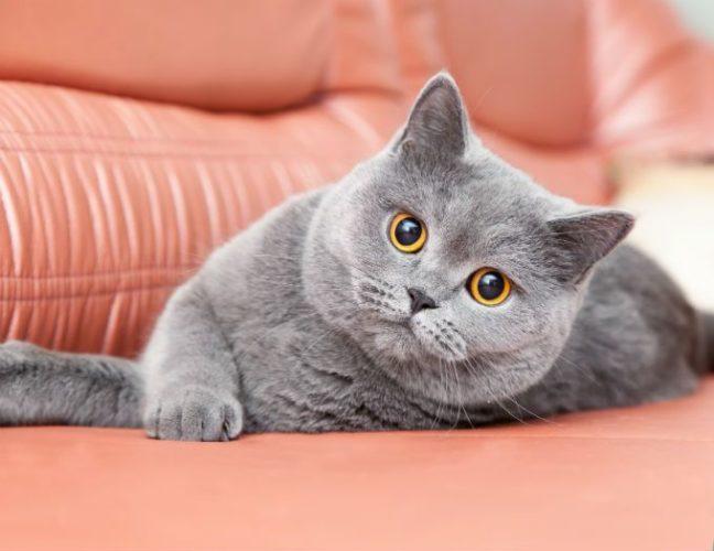 Alla scoperta del gatto British Shorthair!