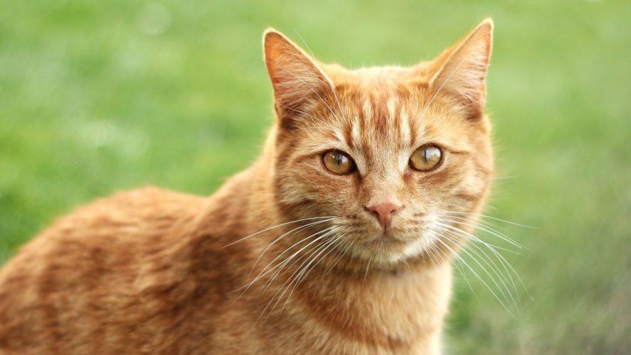 Con la pappa giusta il gatto ha davvero sette vite!