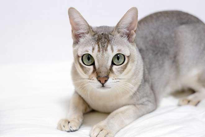 Alla scoperta del gatto più piccolo che ci sia: il Singapura!