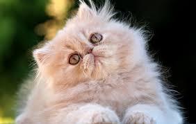 Gatto Persiano bianco a occhi arancio...