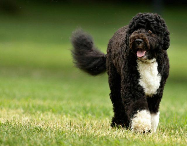 Cao de Agua: un cane (molto) sportivo!