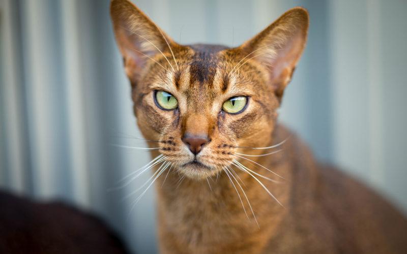 Abissino: un gatto davvero speciale!