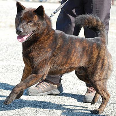Alla scoperta del Kai Dog!