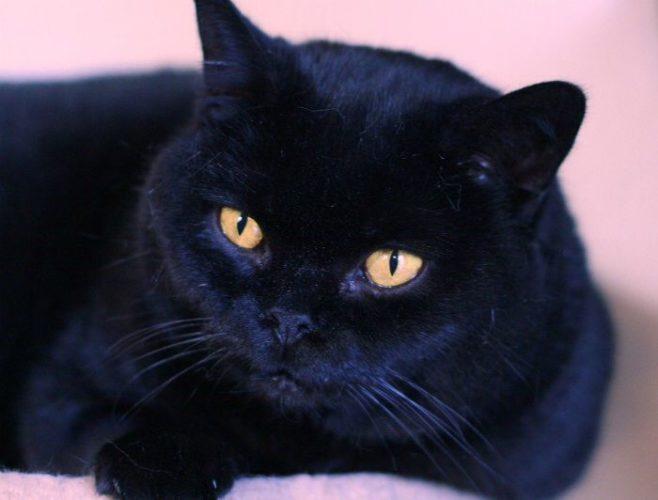 Alla scoperta del gatto British nero!