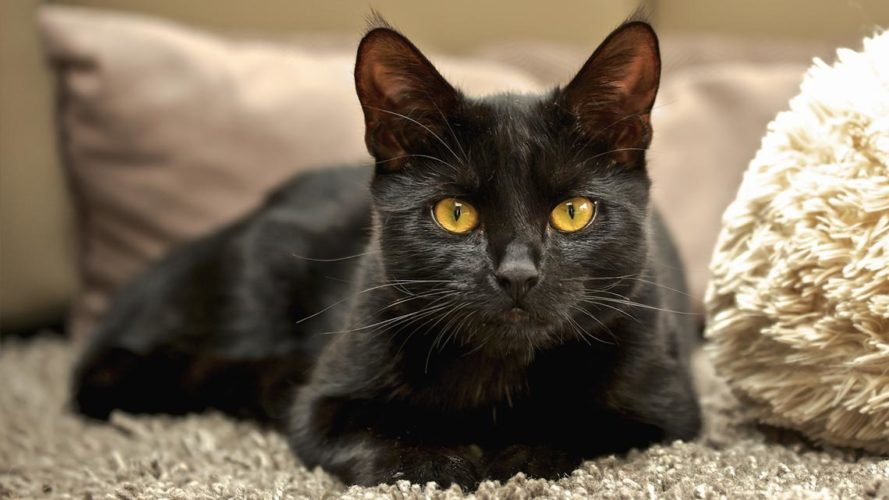 Ipertiroidismo felino: come curare un gatto ipertiroideo!