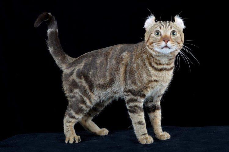 Alla scoperta del gatto Brown Tortie Tabby Blotched (American Curl)!