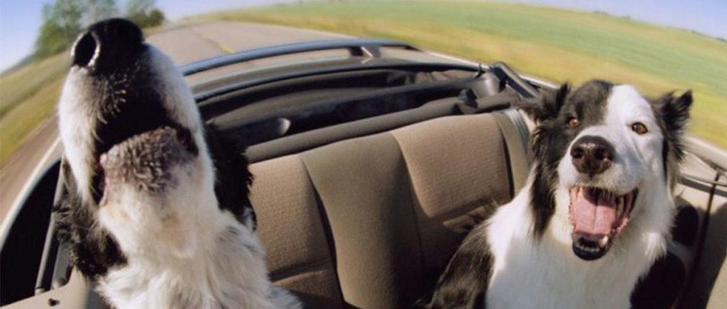 Mal di mare e mal d'auto: anche i nostri animali soffrono di chinetosi!