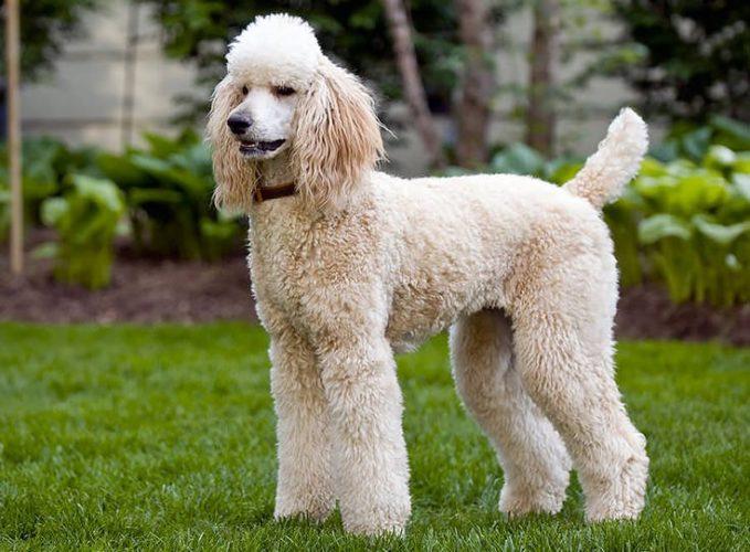 Barbone: un cane sportivo completo! Tante attività da fare insieme...