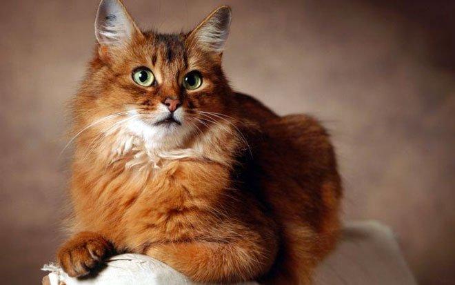 Somalo, un gatto che adora giocare!