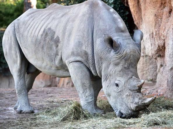 Pancho: un nuovo rinoceronte alle Cornelle...