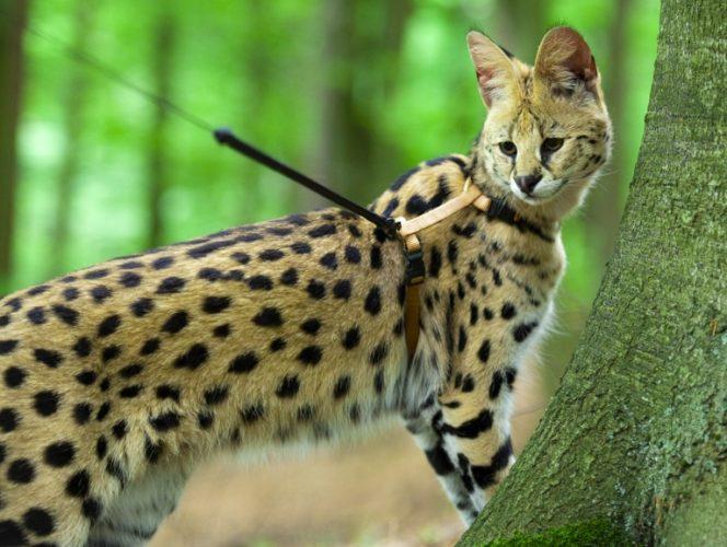 Alla scoperta del gatto Savannah!