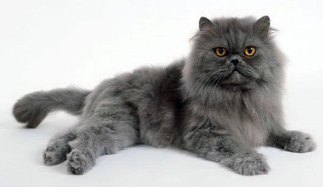 Alla scoperta del gatto Persiano!