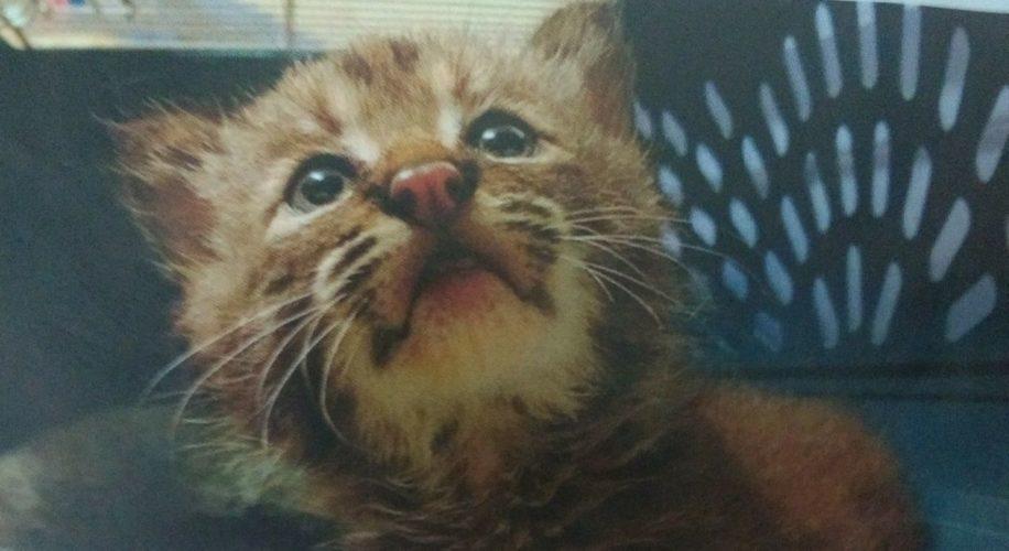 Trova una gattina per strada, ma è un cucciolo di lince rossa!