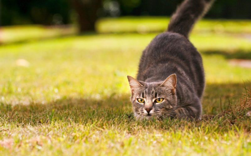 Gatto: un cacciatore solitario!