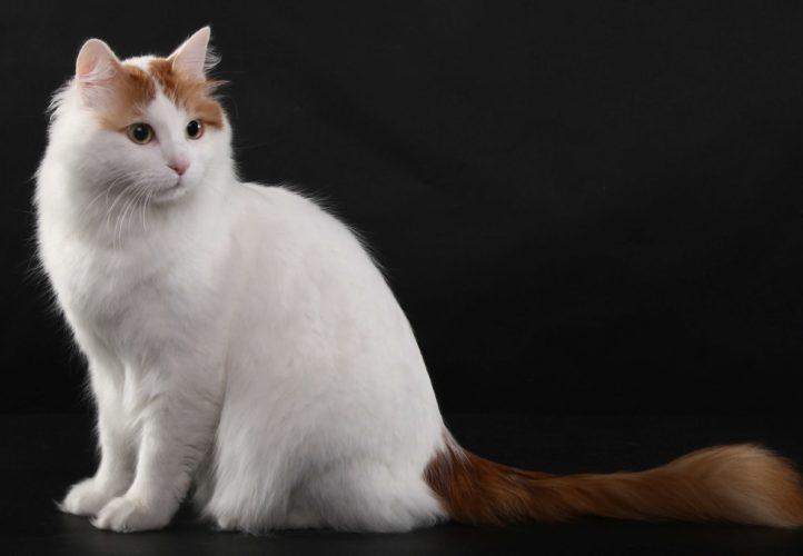 Alla scoperta del gatto Turco Van...