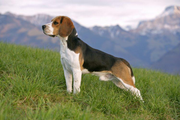 Beagle: facciamo un po' di storia!