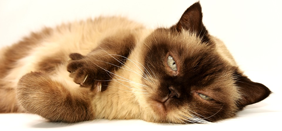 Il tuo gatto ha il mal di pancia e vomita?