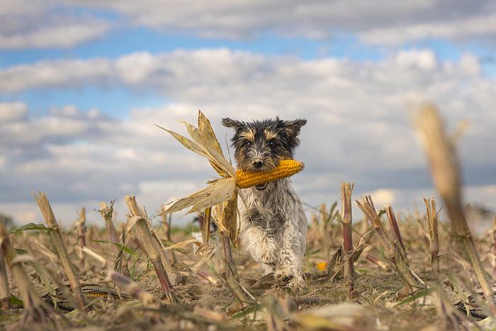 Ma i cereali sono nocivi per cani e gatti?