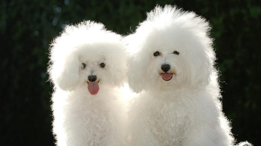 Bolognese: un batuffolo di cane tutto da amare...