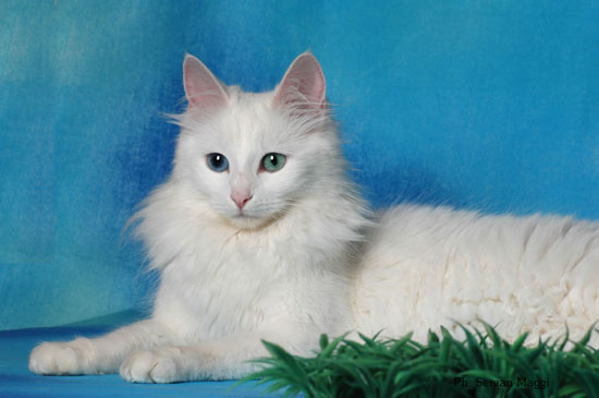 Angora Turco: un gatto elegante, bello e intelligente!