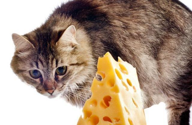Alimentazione del gatto: formaggi sì, formaggi no?